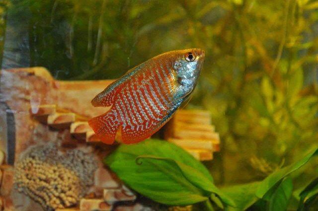 Kolam Induk Ikan Dwarf Gurami