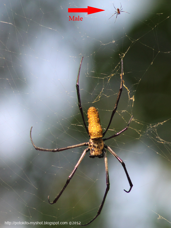 Batik Golden Web Spider Nephila Antipodiana