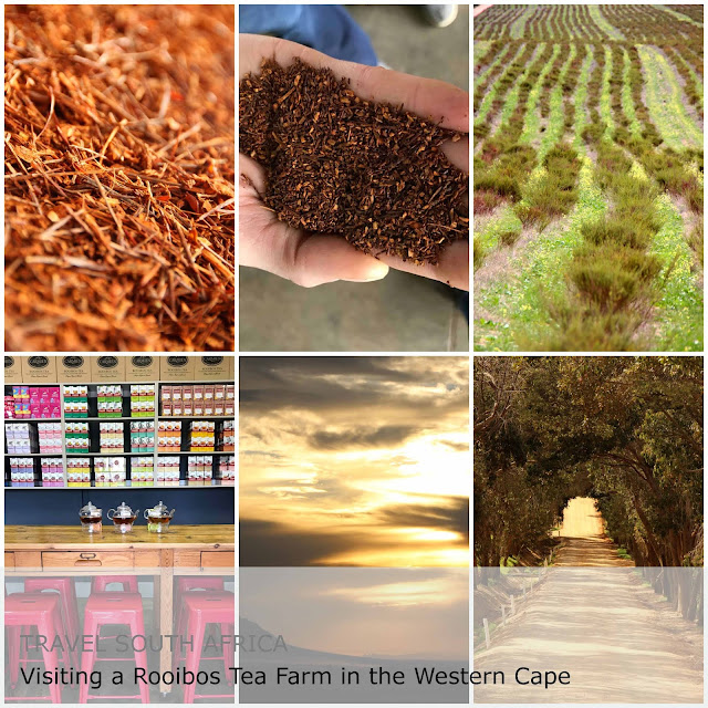 Travel South Africa. Visiting a Rooibos Tea Farm in the Western Cape