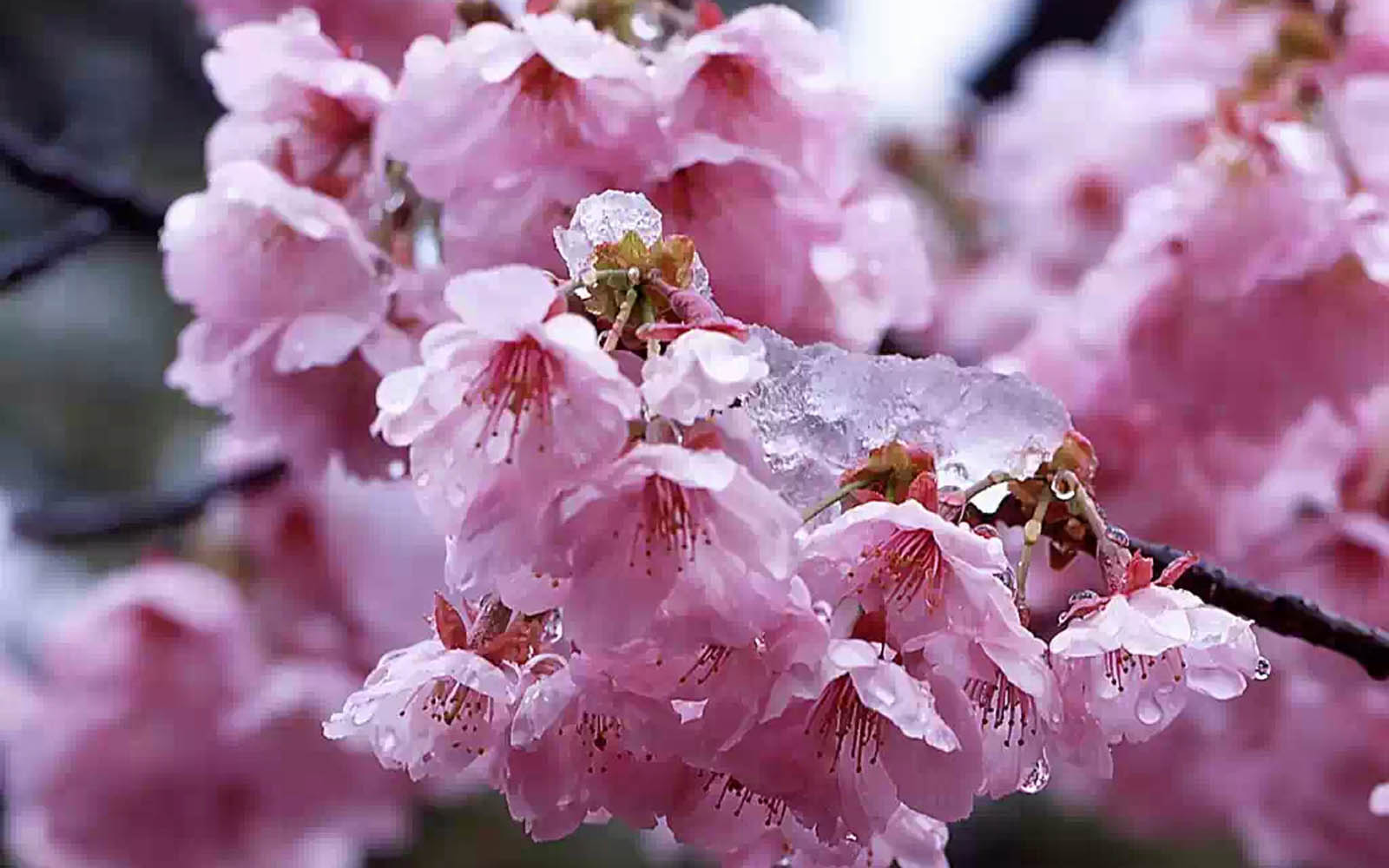 wallpapers: Cherry Flowers Wallpapers