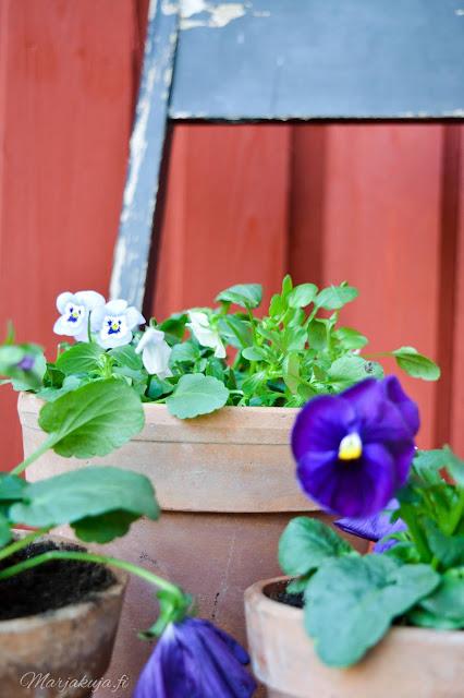 orvokki kevät kukka kevätkukkija istuttaminen saviruukku