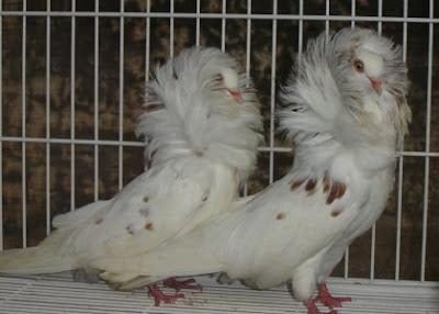POMBO JACOBINO -  São pombos de origem controversa, porém, criados em todo mundo e bastante populares . Seu padrão diferenciado apresenta uma plumagem em forma de capuz, que parte do pescoço para cima, recobrindo-lhe a cabeça. Suas cores são variadas, permitindo diversas combinações .