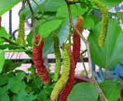 pengertian tanaman hias buah dan contohnya, tanaman hias buah dan ciri-cirinya, contoh tanaman hias buah beserta penjelasannya, jenis tanaman hias buah jeruk, pengertian tanaman hias buah dan akar, jenis tanaman hias buah dan cirinya
