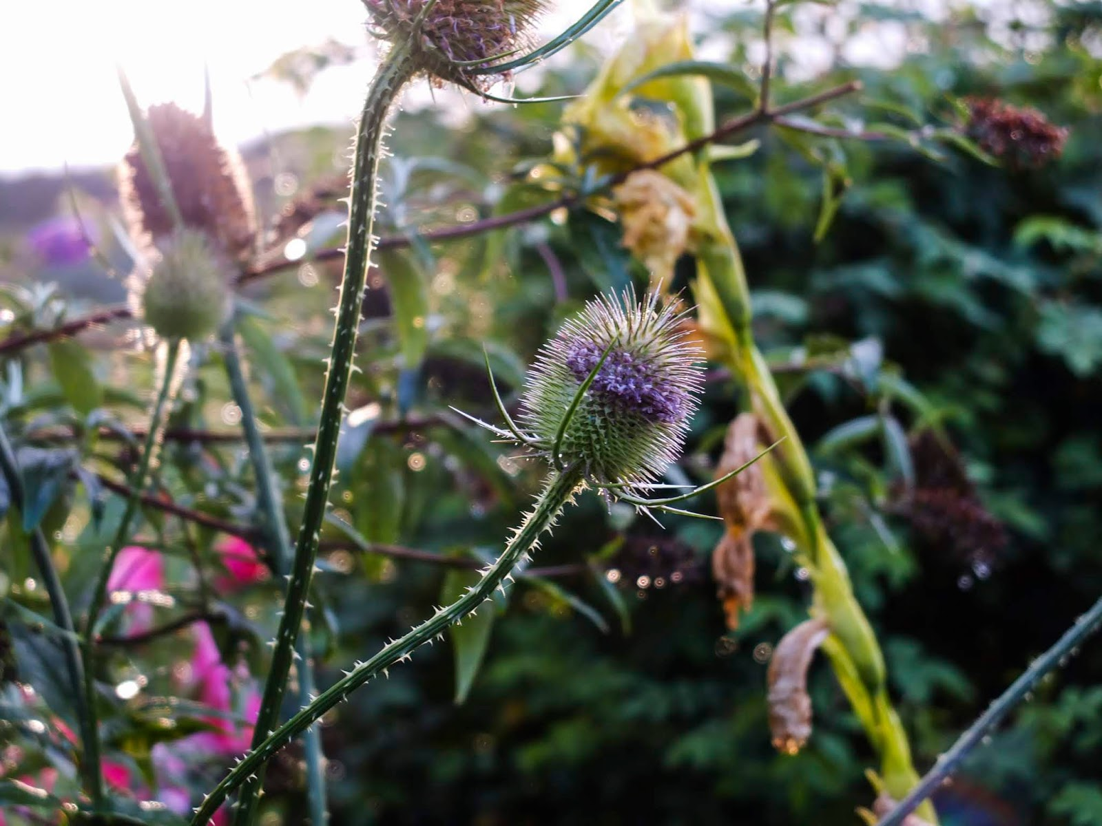 A close up of winter Teasel at sunset.