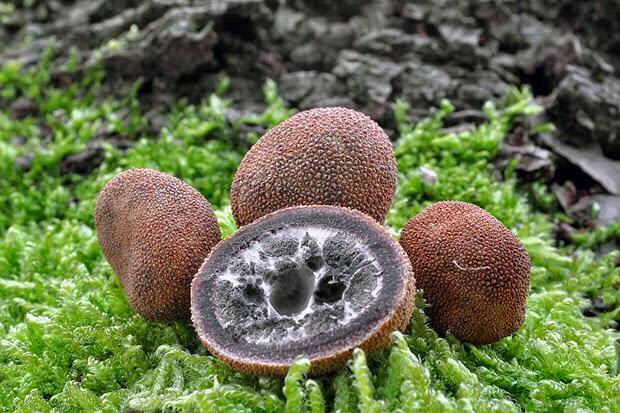 elaphomyces_muricatus
