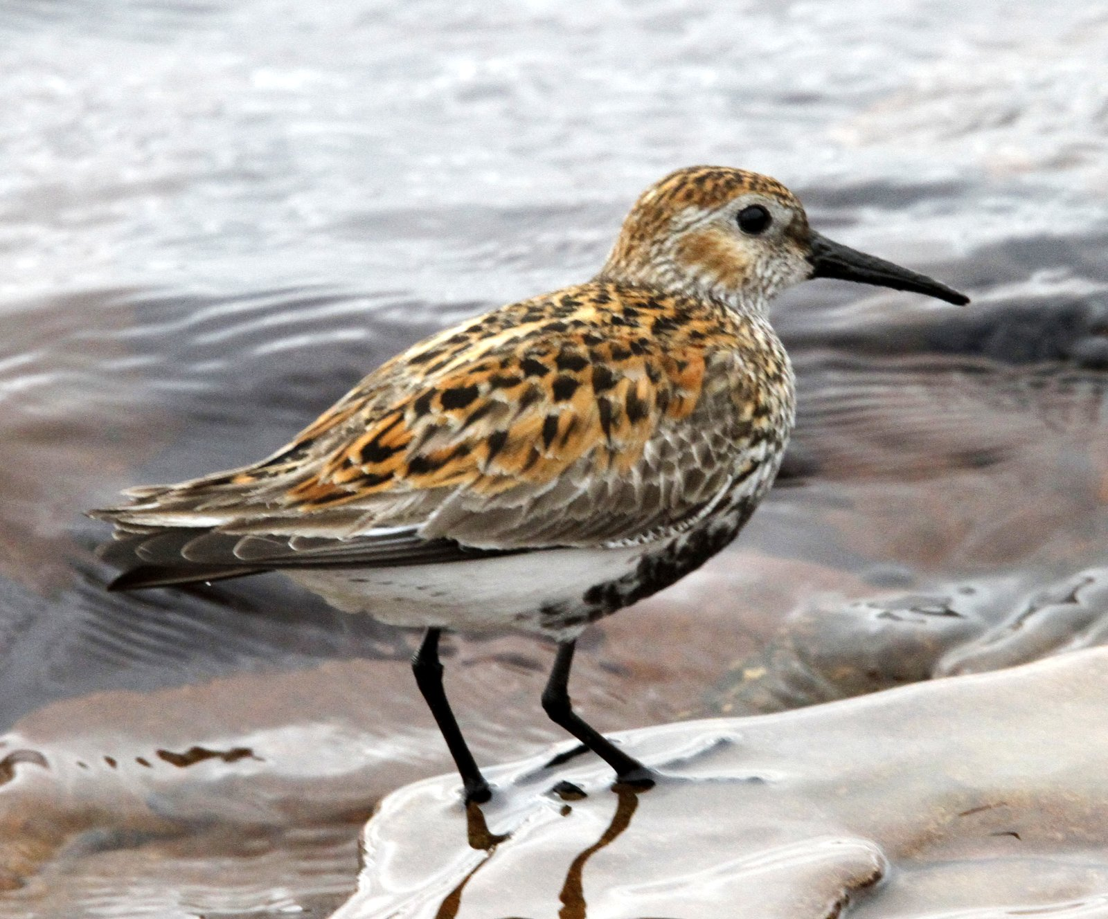 Fly Flatts Dunlin