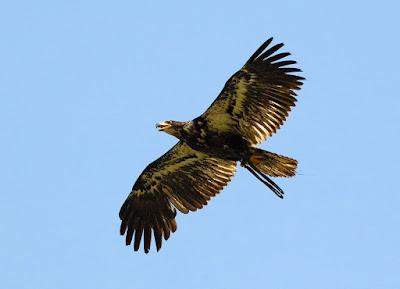 águila de cabeza blanca, inmaduro