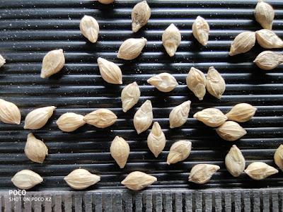 Close-up photo of Browntop Millet grains.