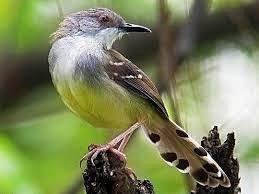 Burung Kenari merupakan salah satu burung kicau yang bisa berkicau dengan cukup dahsyat Kabar Terbaru- Download Suara Burung Kenari Isian Ciblek MP3 Mantap