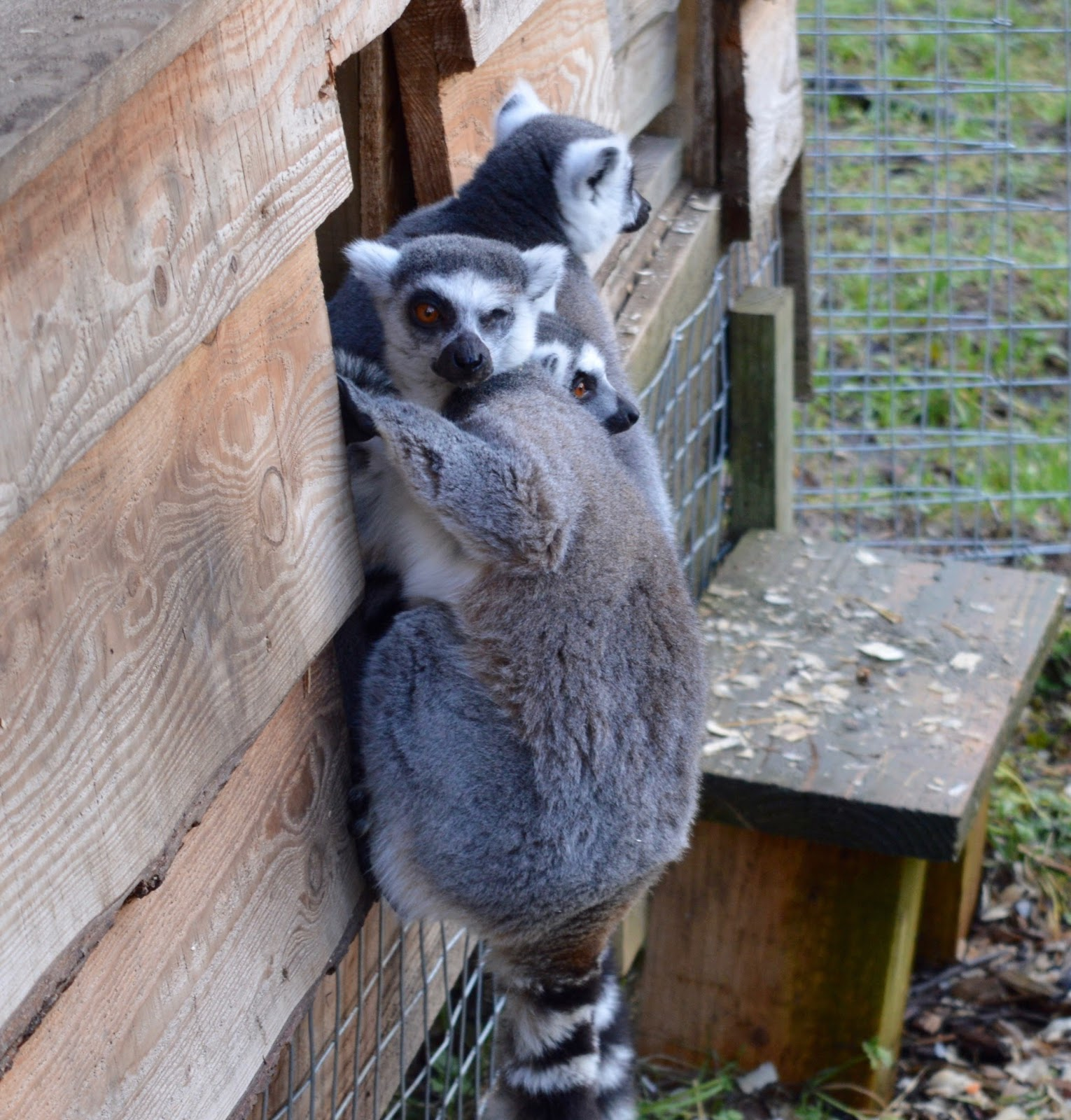 Northumberland County Zoo Reviews -  lemurs