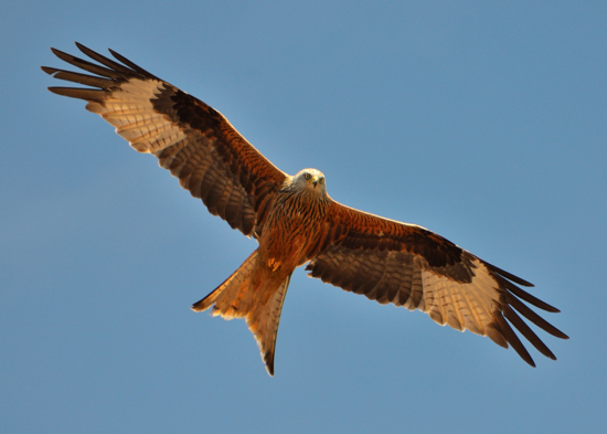 Photograph of a red kite (milvus milvus) by Noel Reynolds released under Creative Commons 2.0
