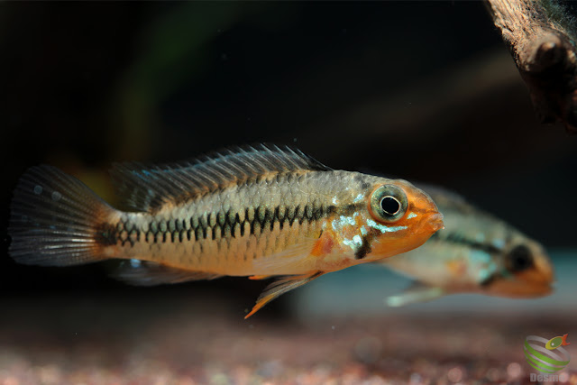 Apistogramma sp. vaupes