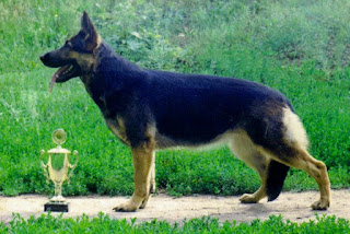 East-European Shepherd-pets-dog breeds-pet-dogs