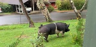 Είπε ότι θα προσέχει το κατοικίδιο γουρούνι 180 κιλών των γειτόνων κι εκείνος το έσφαξε για να το φάει