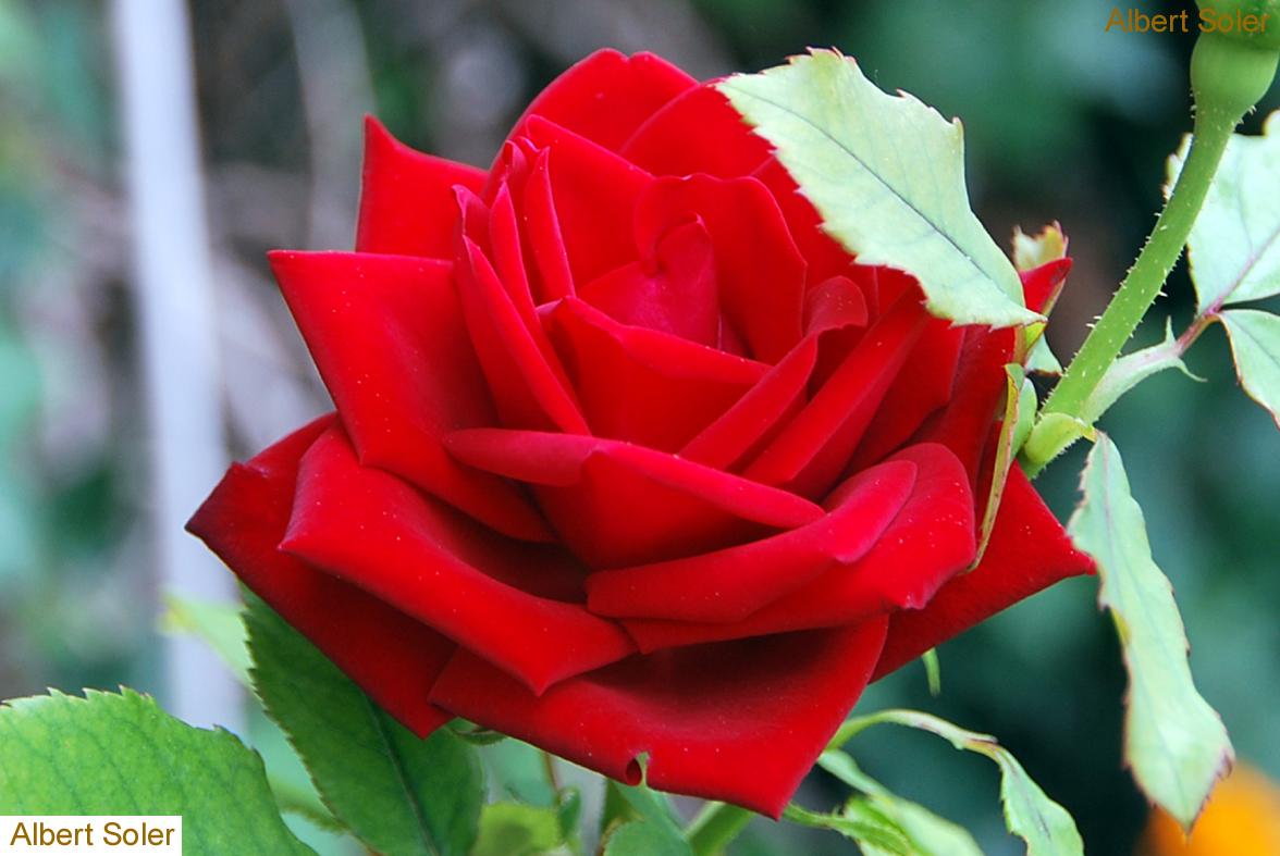 Fotos De Flores: Rosas: Rojas, Rosado, Bicolor, Amarillas