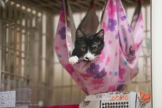 西国分寺シェルターのケージ内のハンモックに揺られながら可愛い顔でこちらを見つめている猫の写真