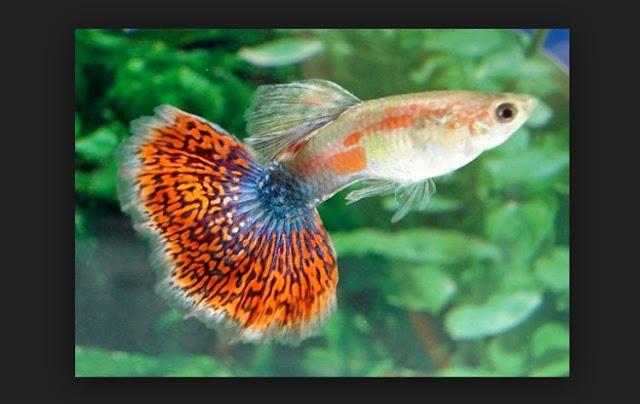 Dunia Ikan Hias - GUPPY MOZAIC