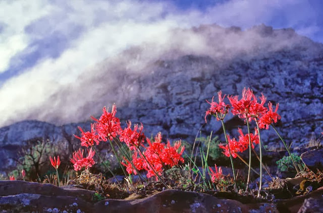 Nerine sarniensis in red flower growing wild on a mountain side