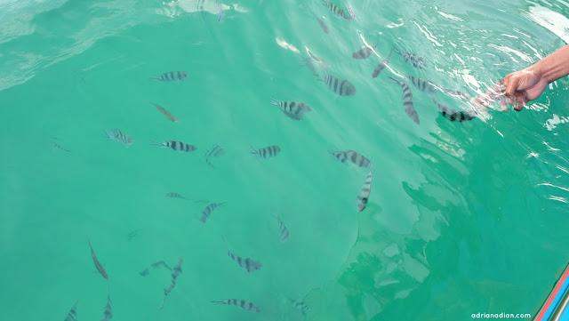 Tur Cokelat Bali Nikmatnya Cokelat Frisian Flag - Fish Feeding The Lovina Bali