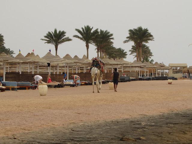 верблюд на пляже