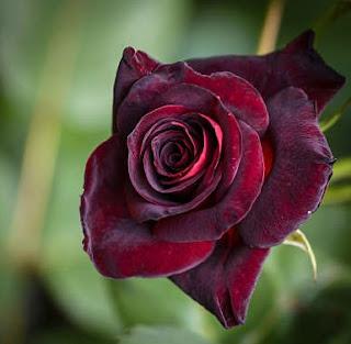 Gambar Bunga Mawar Cantik 8