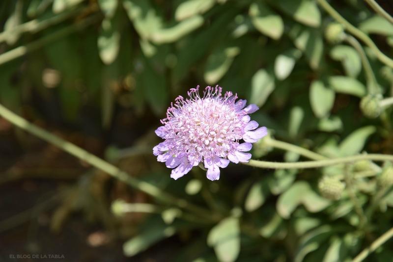 flores color lila de scabiosa cretica