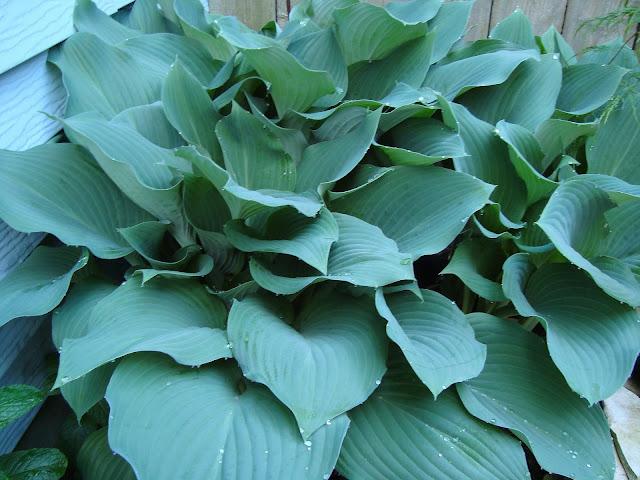 blue hosta perennial closeup of full leaves