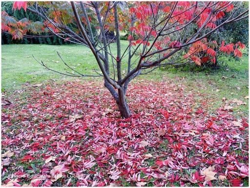 Follaje que en otoño cambia su coloración de verde a rojo - Chacra Educativa Santa Lucía