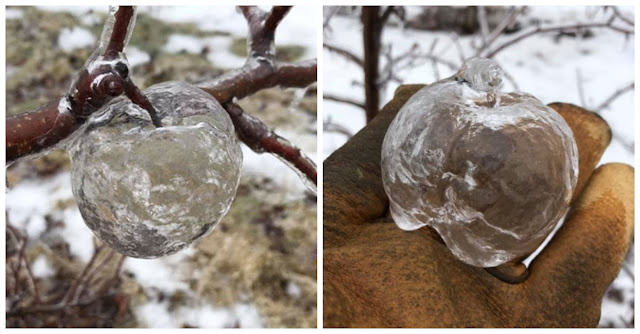 "Facebook In Awe After Farmer Shares Pictures Of ""Ghost Apples"""