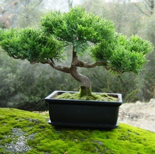 sembrar bonsai