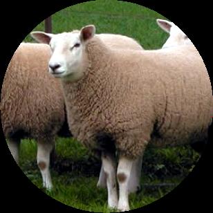 Resultado de imagen de Crianza de ganado ovino