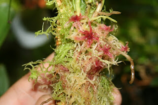 musgo sphagnum orquideas