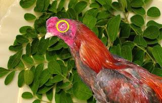 Cara mengobati mata ayam dengan daun kelor