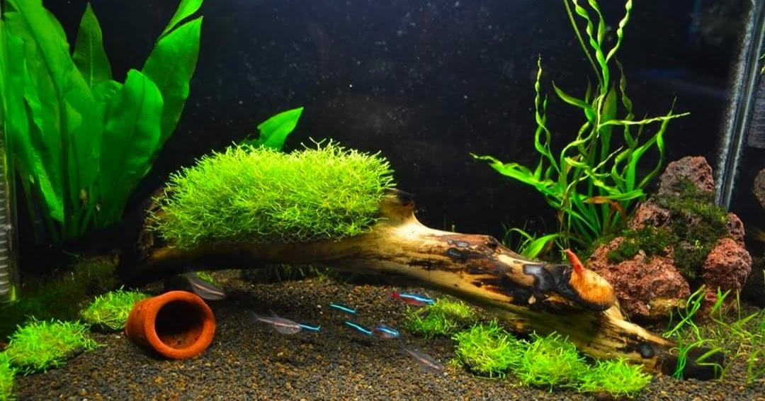 Cara Membuat Karpet Moss Aquascape yang Baik untuk Pemula ...