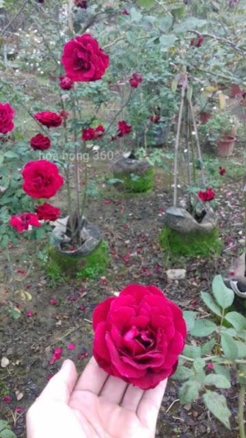 mua hoa hồng leo hải phòng