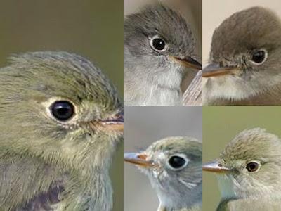 Empid eye rings, showing Least Flycatcher, Alder Flycatcher, Yellow-bellied Flycatcher