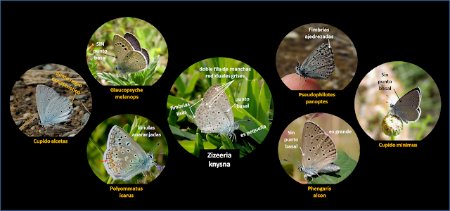 Zyzeeria knysna, claves visuales