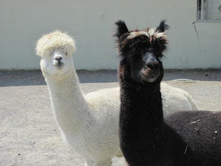 The sheepdog alpaca and friend.