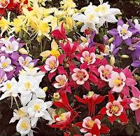 Renk renk haseki küpesi çiçeği çeşitleri