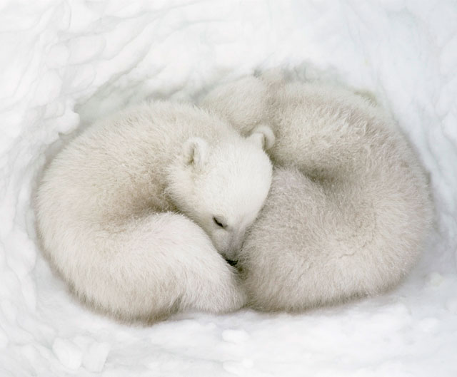 Amper Bae Polar Bear Cubs