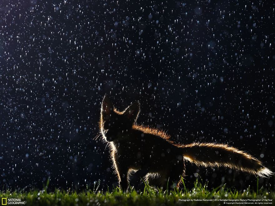 20+ Of The Best Entries From The 2016 National Geographic Nature Photographer Of The Year - Dancing In The Rain