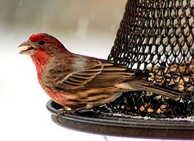 lake arrowhead, finch, birdwatching