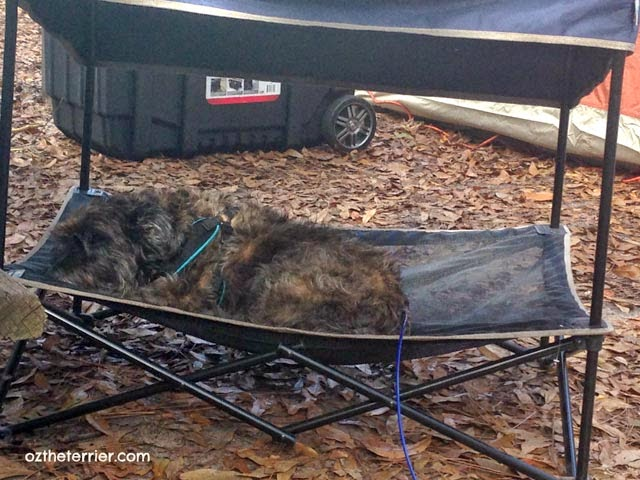 Oz the Terrier rests in his QuikShade Pet Shade in Highlands  Hammock State Park campground