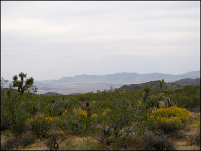 Joshua Tree National Park,desert senna,Mojave,desert,flowers,wildflowers