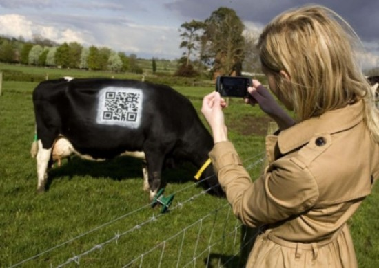 QR code on a cow?
