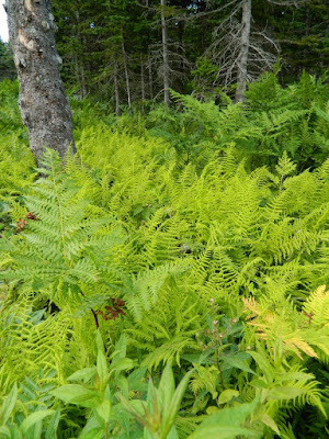 Skyline Trail Cape Breton Highlands National Park fern filled forest floor by garden muses-not another Toronto gardening blog