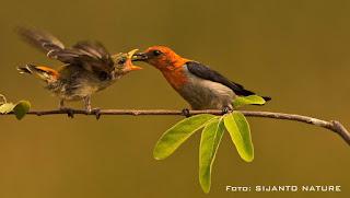 Burung Cabai Jawa