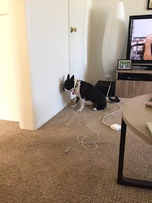 Chứng ép đầu vào tường trên chó, mèo