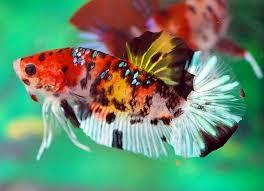20 jenis ikan cupang koi cantik cara budidaya ternak for Petco koi fish