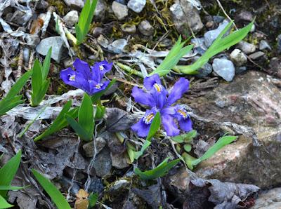 dwarf purple native iris lacustris